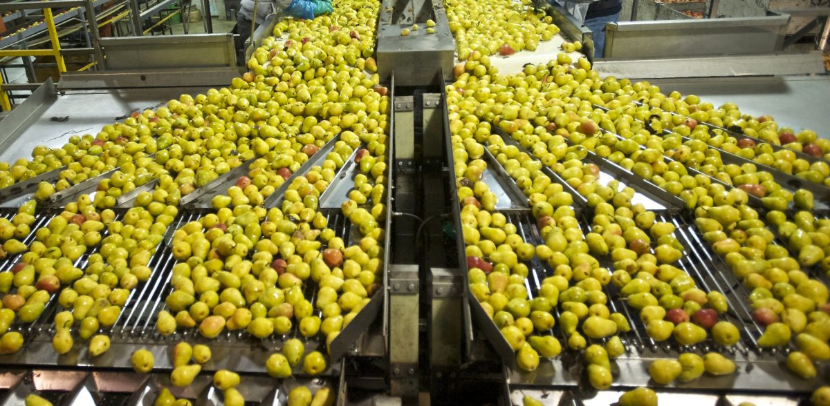 Workers sort pears during a tour of the Northwest Packing facility on Friday October 25, 2013. (Zachary Kaufman/The Columbian)